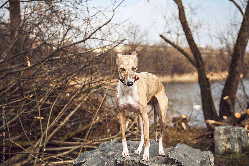 Dog on The Walkt in The Forest by Alie Lengyelova for Stocksy United