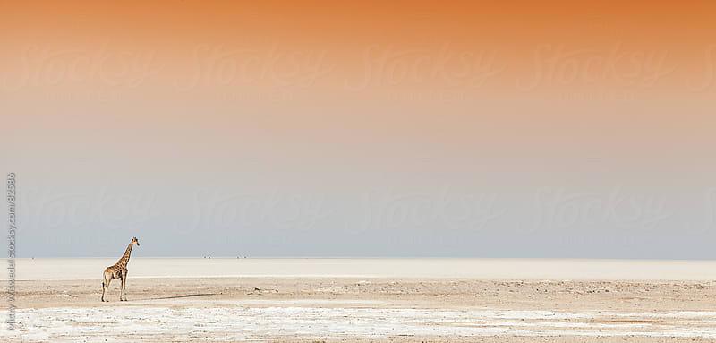 Giraffe on an empty salt pan by Micky Wiswedel for Stocksy United