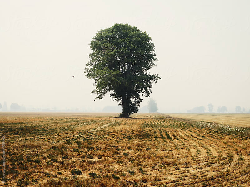 Lone Tree in Open Field by B. Harvey for Stocksy United