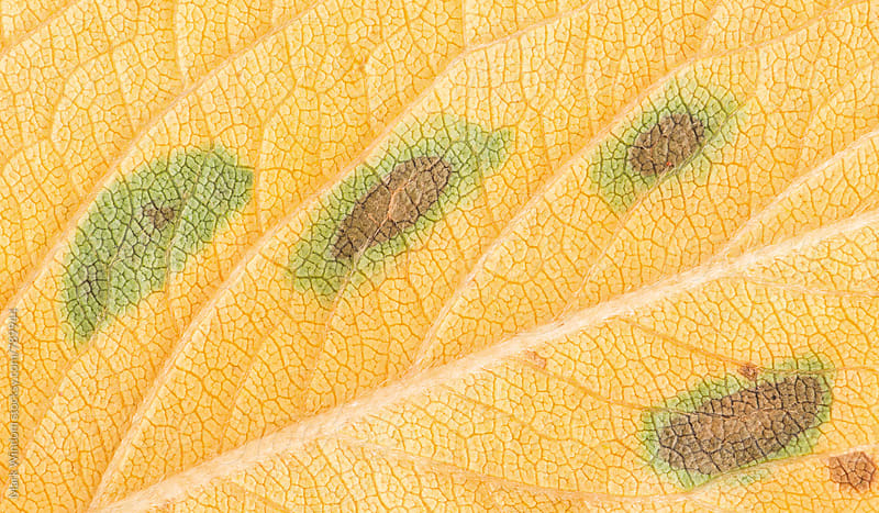 Cherry tree leaf, closeup by Mark Windom for Stocksy United