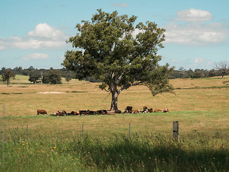 Brown Cattle lying under a Gum Tree by Gary Radler Photography for Stocksy United