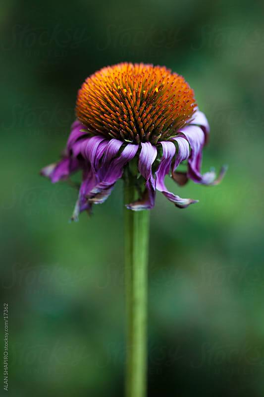 Purple coneflower in the garden by ALAN SHAPIRO for Stocksy United