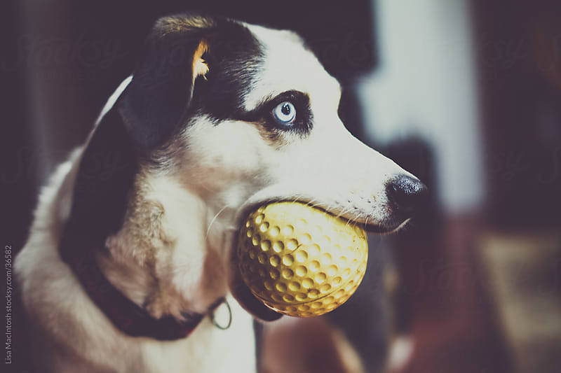 blue eyed husky beagle cross dog with giant yellow ball in mouth by Lisa MacIntosh for Stocksy United