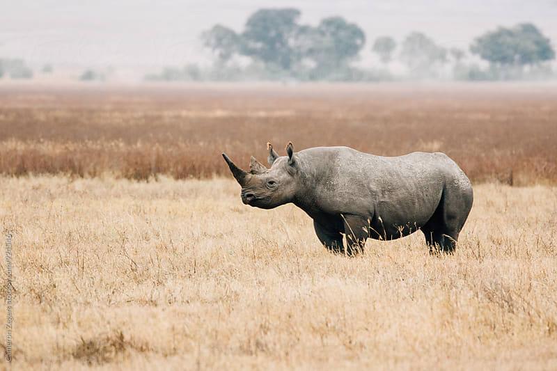 black rhino in Ngorongoro Crater, Tanzania by Cameron Zegers for Stocksy United