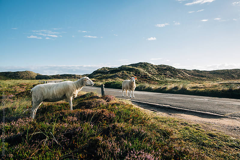 Sheep Standing in Beautiful National Park Landscape on Sylt (Germany) by VISUALSPECTRUM for Stocksy United
