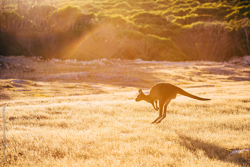 kangaroo hopping at sunrise by Cameron Zegers for Stocksy United