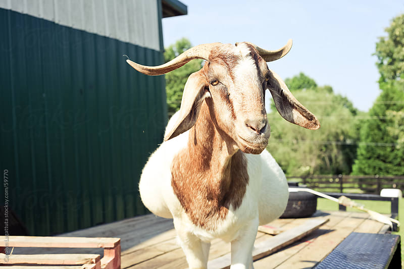 Goat with a full belly by Carolyn Lagattuta for Stocksy United