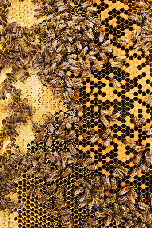 Bees convert nectar into honey and cover it in honeycombs by Urs Siedentop & Co for Stocksy United