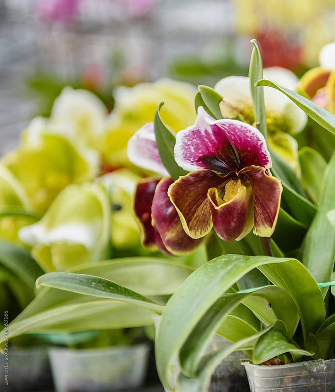 Slipper Orchids in bulk for sale by Lawren Lu for Stocksy United