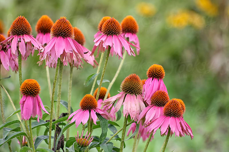 Group of hot pink cone flowers in a field of wild flowers by Monica Murphy for Stocksy United