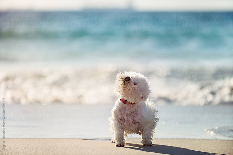 White dog shaking off water at the beach by Angela Lumsden for Stocksy United