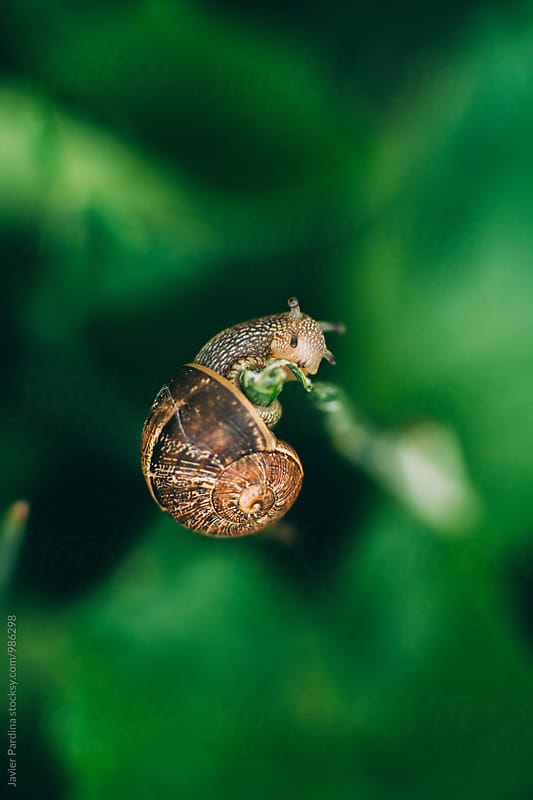 Snail eating a plant by Javier Pardina for Stocksy United
