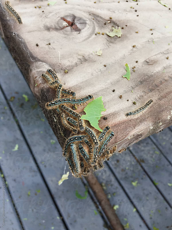 Tent Caterpillars eating green leaves by Carey Shaw for Stocksy United
