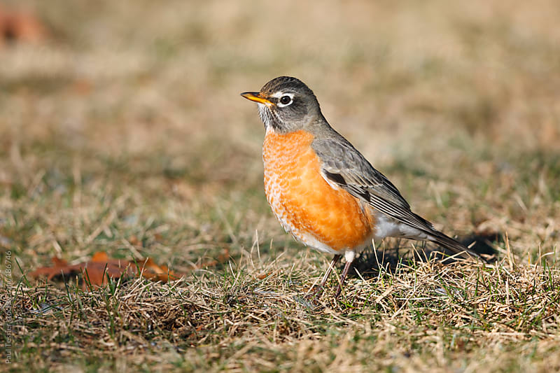 American Robin in the Spring by Paul Tessier for Stocksy United