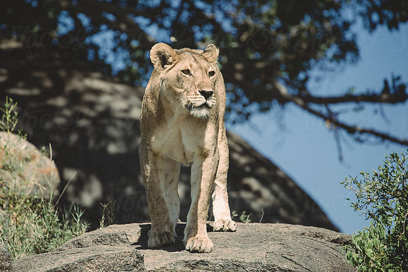 Female lion in Tanzania by Chris Werner for Stocksy United