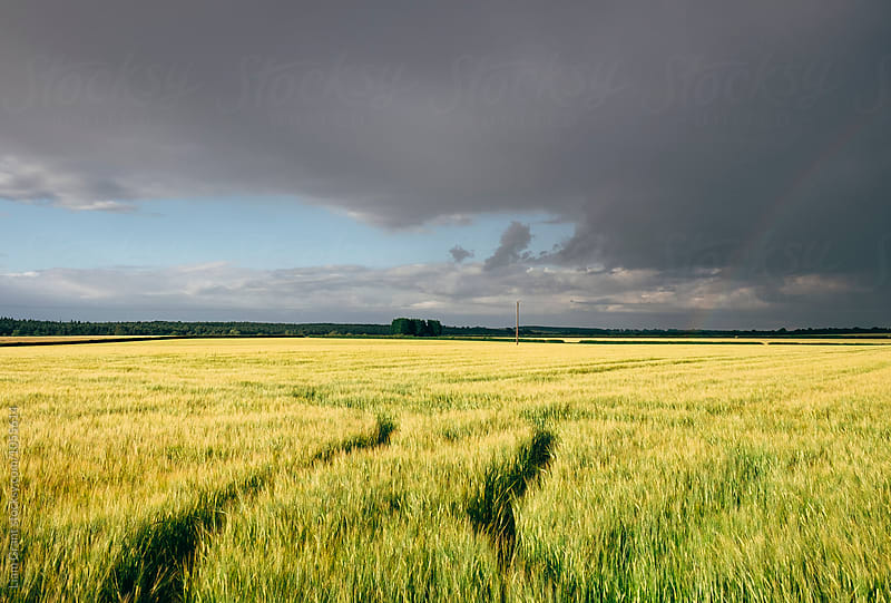 Storm clouds over crops at sunset. Norfolk, UK. by Liam Grant for Stocksy United