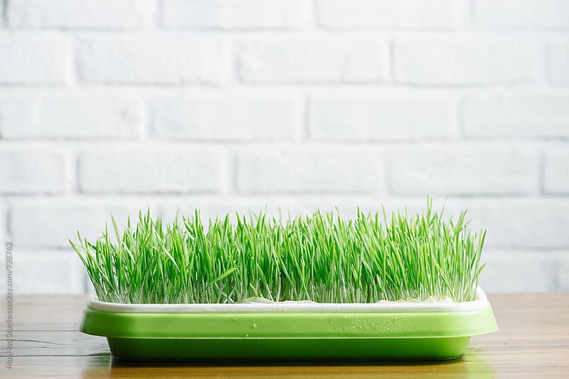 Wheatgrass by Maa Hoo for Stocksy United