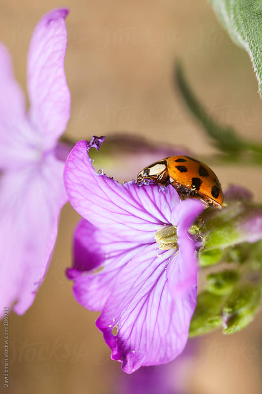 Ladybird beetle eating Lunaria flower petals by David Smart for Stocksy United