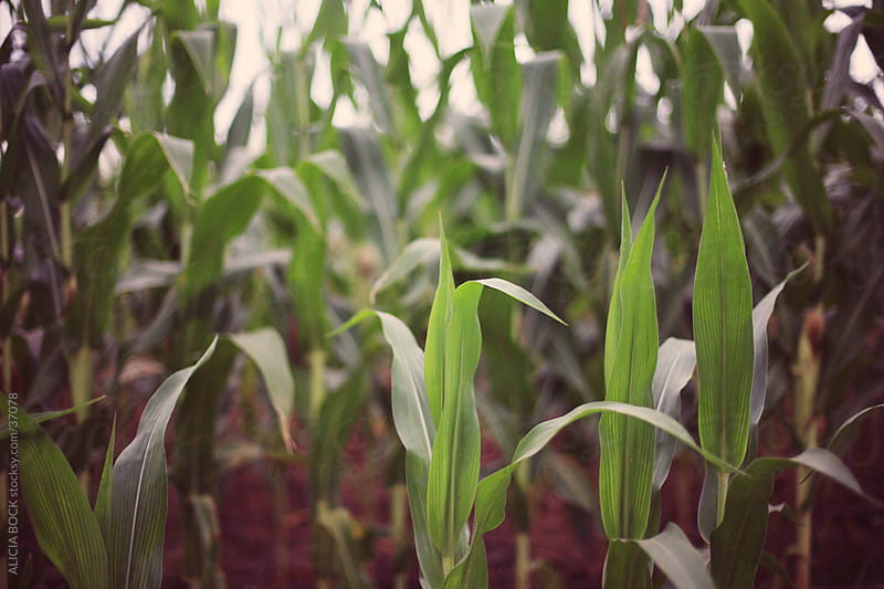 Corn Filed by ALICIA BOCK for Stocksy United