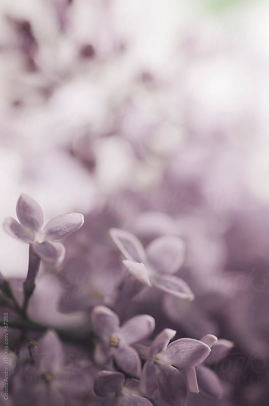 Purple lily flower in spring by Cosma Andrei for Stocksy United