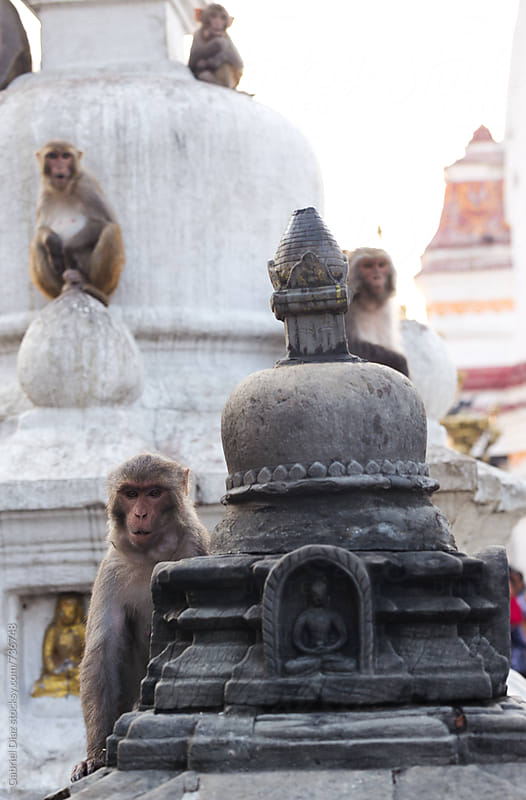Monkey in Monkey-Temple. Katmandu by Gabriel Diaz for Stocksy United