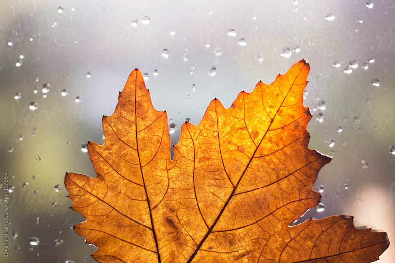 Autumn leaf with rain drops attached on window by Jovana Rikalo for Stocksy United
