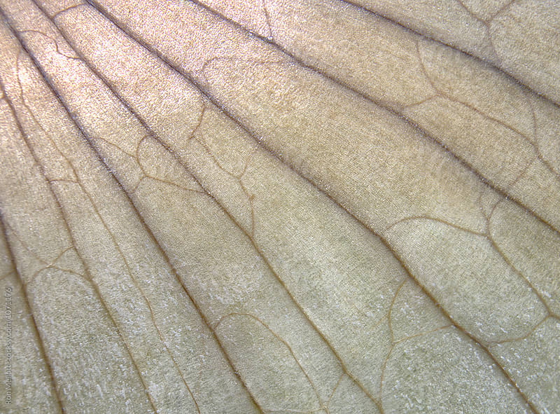 Closeup macrophotograph of onion skin veination by Ron Mellott for Stocksy United