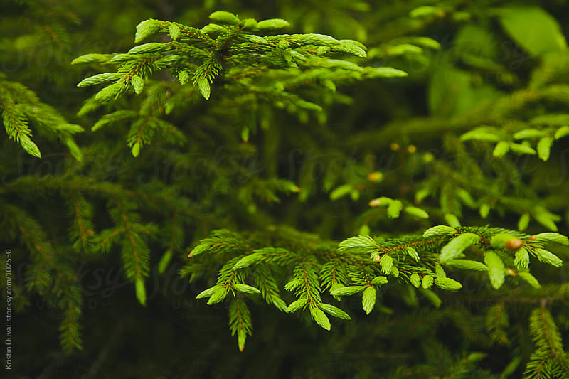 Evergreen tree detail. Maine. by Kristin Duvall for Stocksy United