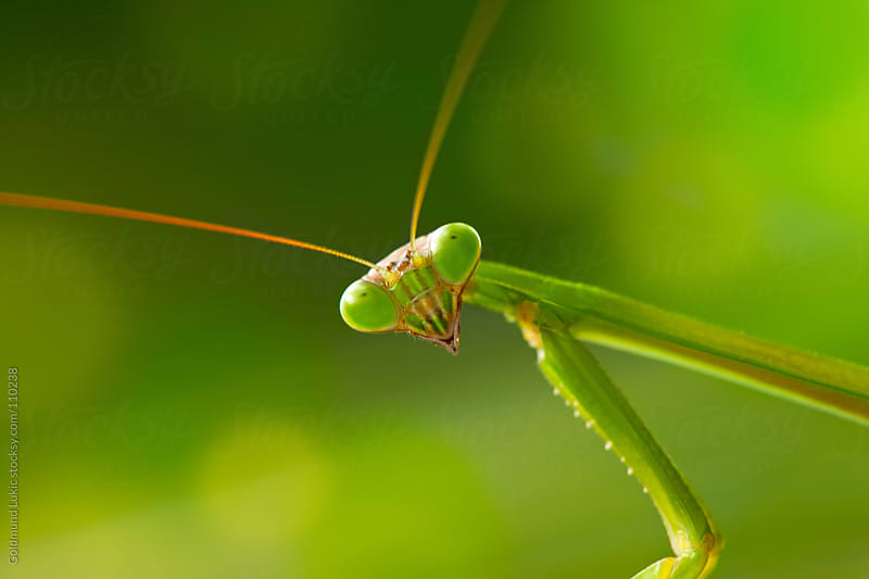 Praying Mantis by Goldmund Lukic for Stocksy United