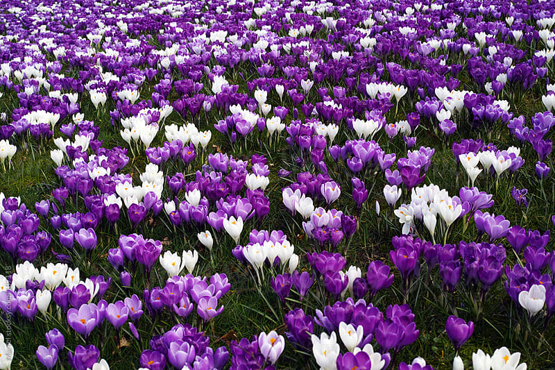 Field of purple and white crocuses by Marcel for Stocksy United