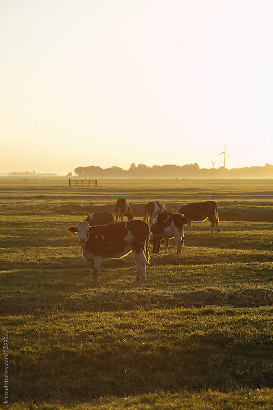 Herd of Holstein cows in a field at sunrise by Marcel for Stocksy United