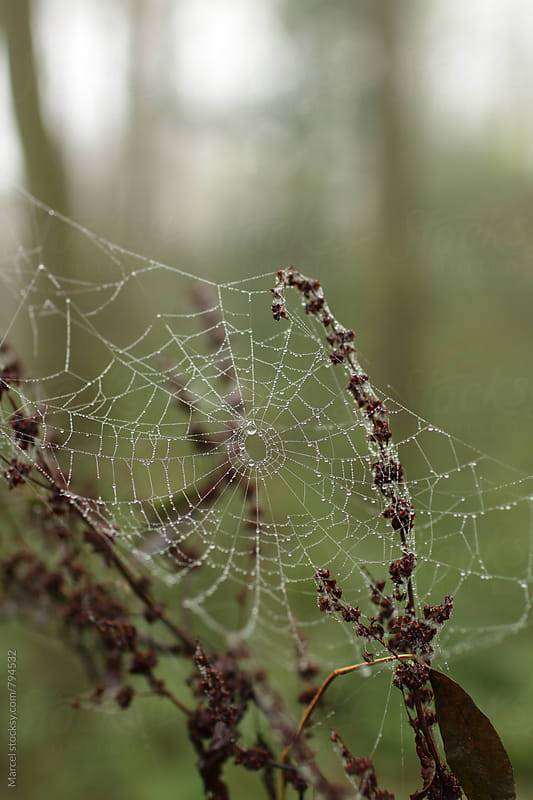 Wet spiderweb in a forest in fall by Marcel for Stocksy United