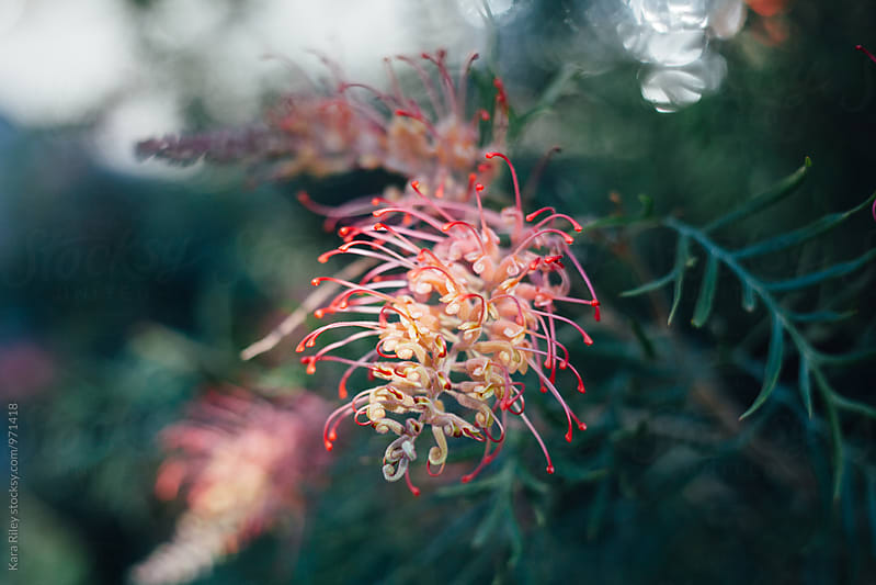 Australian Native Grevillea Flowers by Kara Riley for Stocksy United