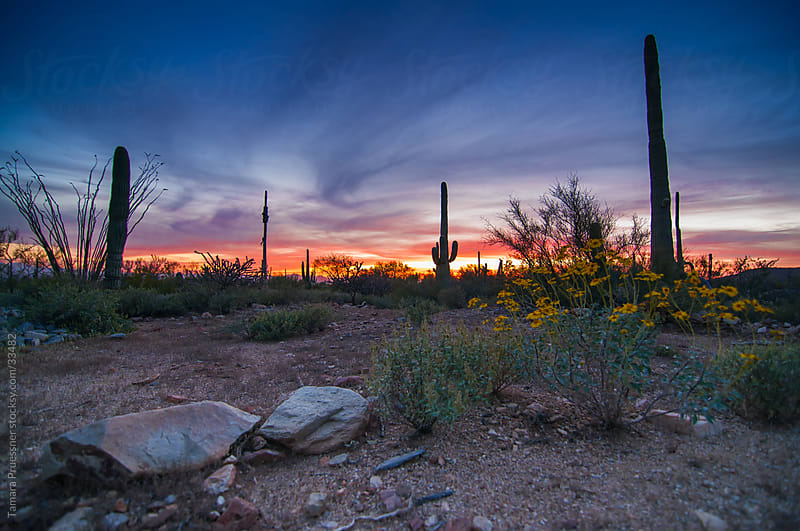 Desert Sunset With Sagauro Cactus by Tamara Pruessner for Stocksy United