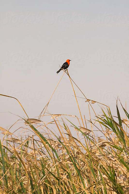 Red and black bird on a plant in a lagoon. by michela ravasio for Stocksy United