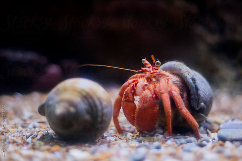 Orange Hermit crab by ACALU Studio for Stocksy United