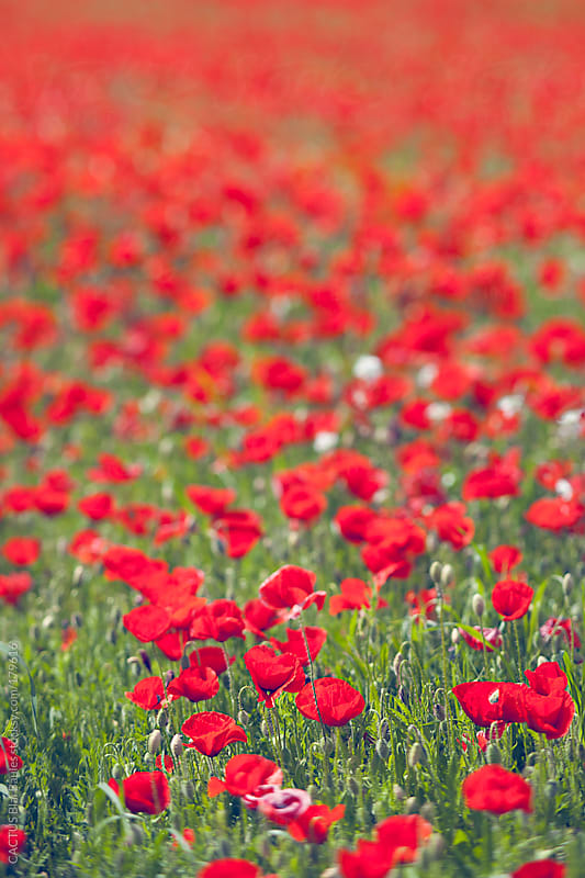Poppies field. by CACTUS Blai Baules for Stocksy United