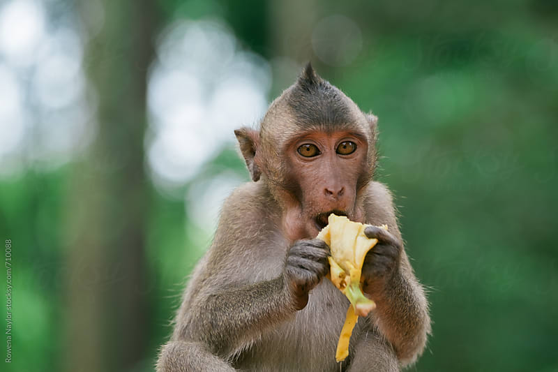 Cute baby Monkey eating Banana by Rowena Naylor for Stocksy United