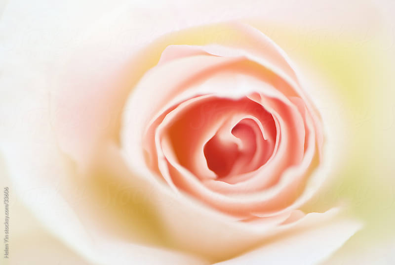 soft beautiful pastel rose by Helen Yin for Stocksy United