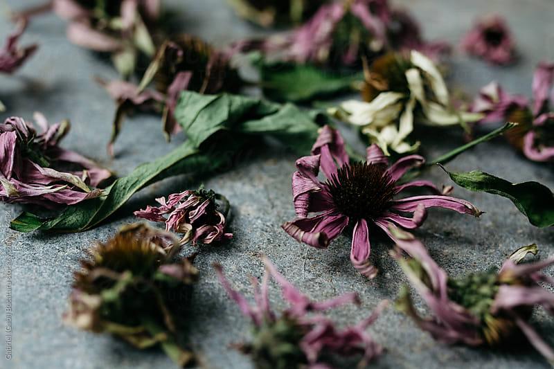 Dried echinacea flowers for tea by Gabriel (Gabi) Bucataru for Stocksy United