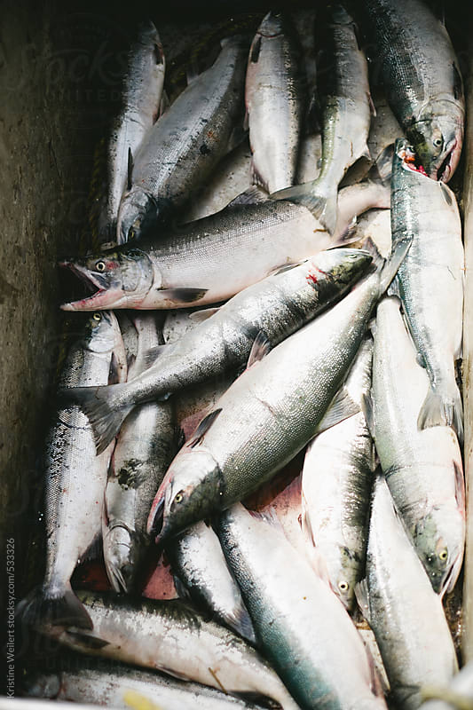 A bunch of salmon caught while fishing by Kristine Weilert for Stocksy United