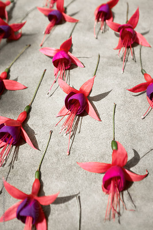 Fuchsia Flowers by James Ross for Stocksy United