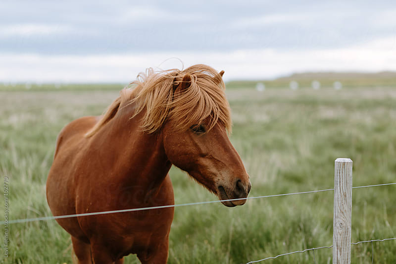 horse on a ranch in Iceland by Levi Tijerina for Stocksy United