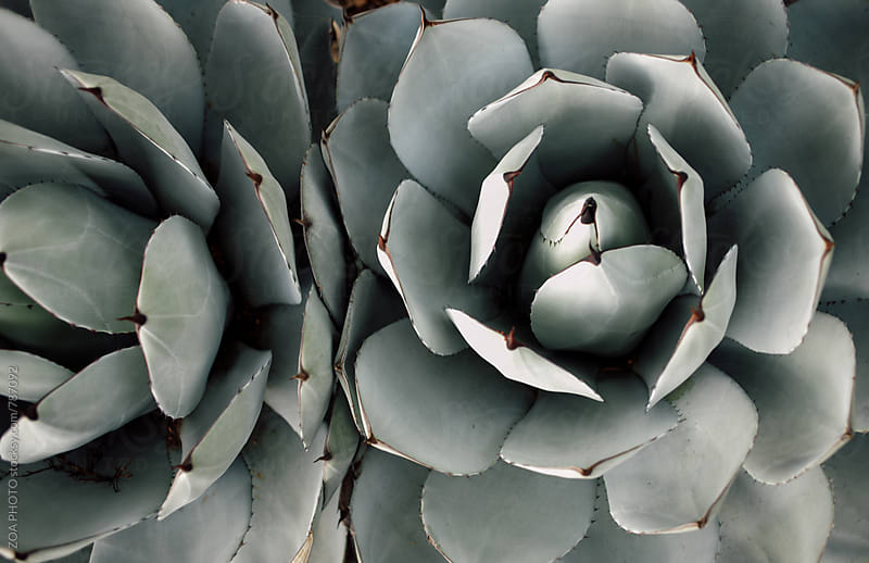 Agave Plants by ZOA PHOTO for Stocksy United