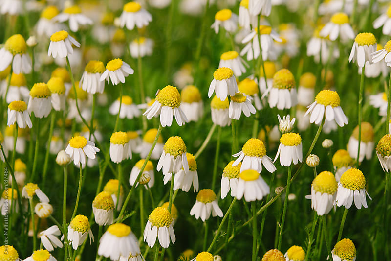 close up of field of yellow and white daisies by Deirdre Malfatto for Stocksy United