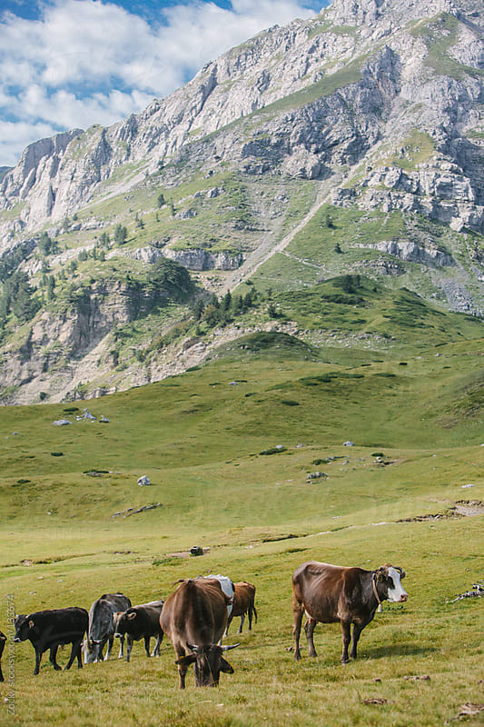 Cows in the mountains by Zocky for Stocksy United