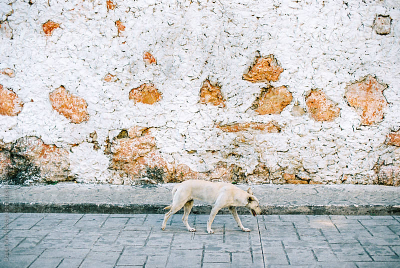 Old dog walking on street by Daniel Kim Photography for Stocksy United