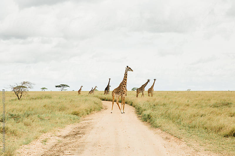 Tower of Giraffe by Diane Durongpisitkul for Stocksy United