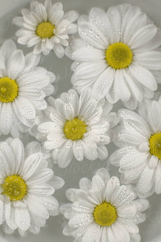 Closeup of daisies in a bowl of water. by BONNINSTUDIO for Stocksy United