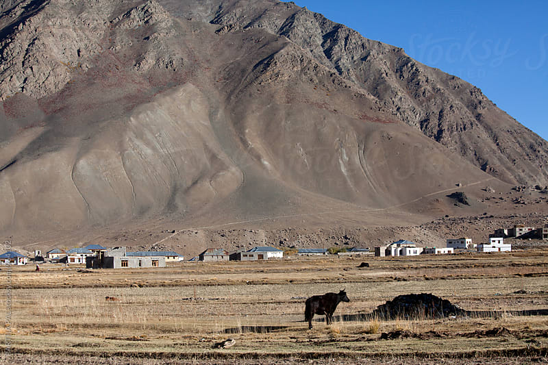 High altitude landscape with cattle grazing in Ladakh,India by PARTHA PAL for Stocksy United